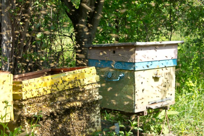 Beginning swarming of bees stock photos