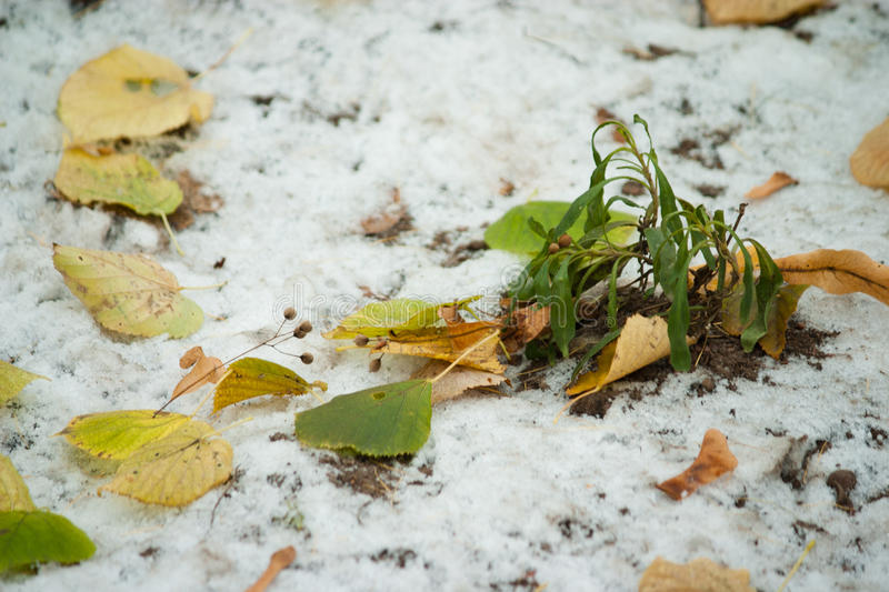 Beginning of winter, end of autumn, leaves under snow stock images