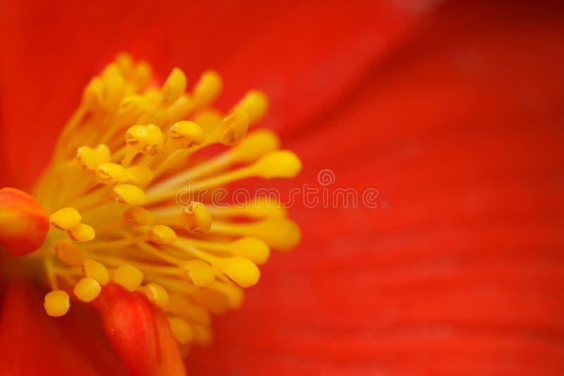 begoni kwiatu płatków czerwony stamens kolor żółty fotografia stock