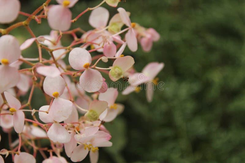 Begoni semperflorens kwitną w ogródzie fotografia royalty free