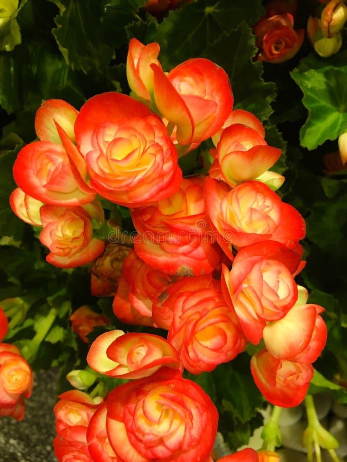 Begonia καμέλια πλήρως-που αυξάνεται Τα succulent καρδιά-διαμορφωμένα φύλλα του παραμένουν πράσινα στο χρώμα καθ' όλη τη διάρκεια στοκ εικόνα με δικαίωμα ελεύθερης χρήσης