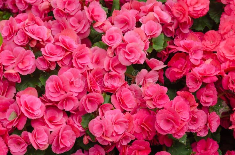 Begonia λουλούδι στον κήπο στοκ εικόνα με δικαίωμα ελεύθερης χρήσης