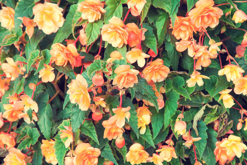 Begonia υπόβαθρο λουλουδιών στοκ εικόνες