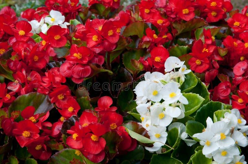 Begonia immagine stock immagine di pianta nave naughty for Begonia pianta
