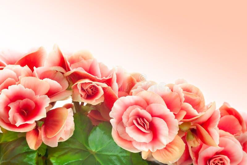 Begonia imágenes de archivo libres de regalías