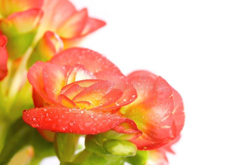 Begonia royalty-vrije stock foto's