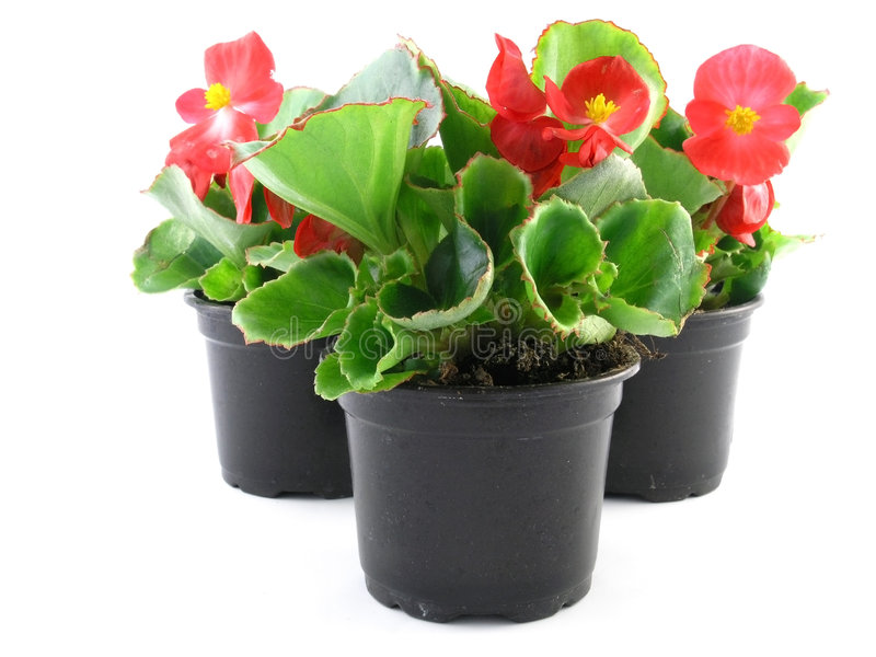 Begonia stock photos