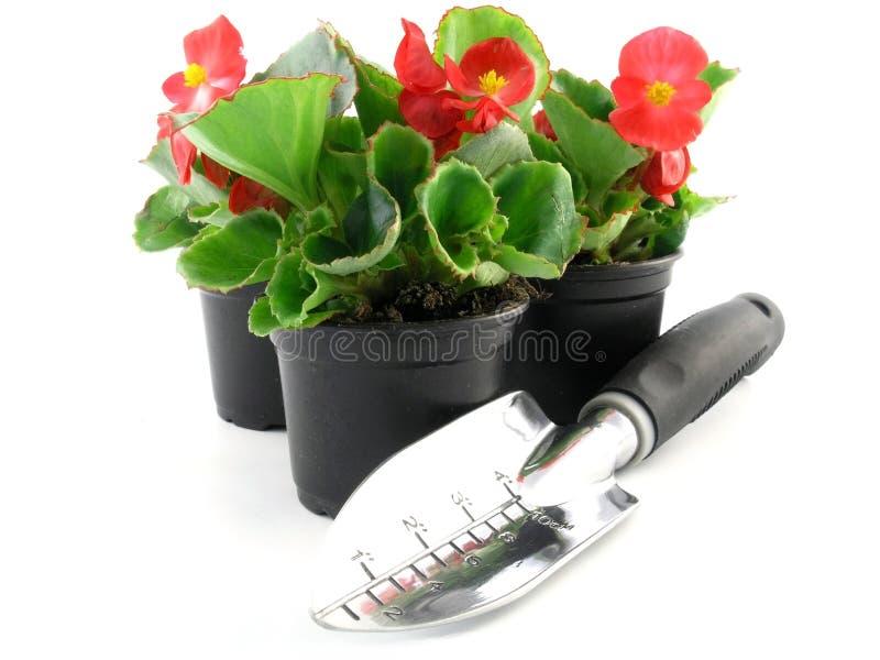 begonia στοκ εικόνα