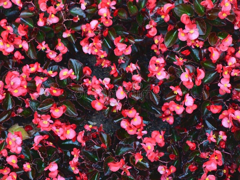 begonia στοκ φωτογραφία με δικαίωμα ελεύθερης χρήσης