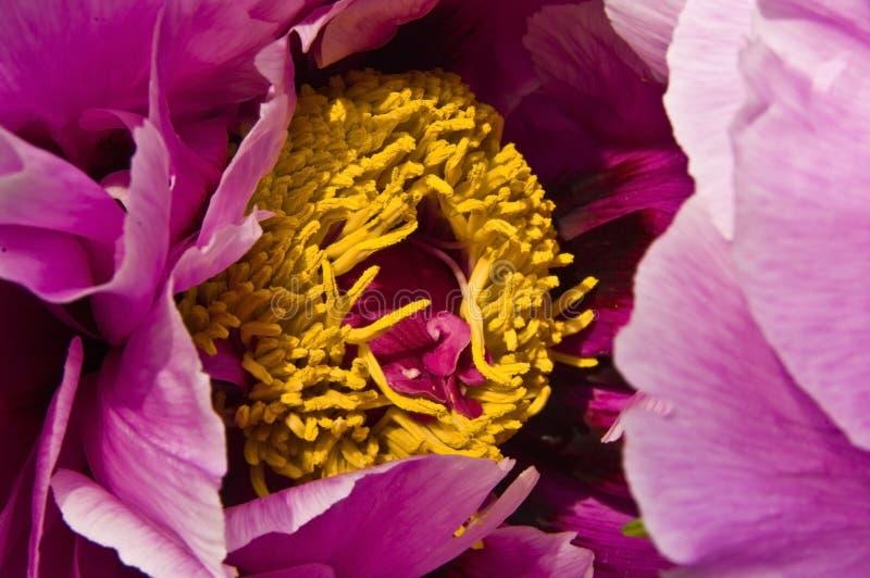 begonia стоковое изображение rf