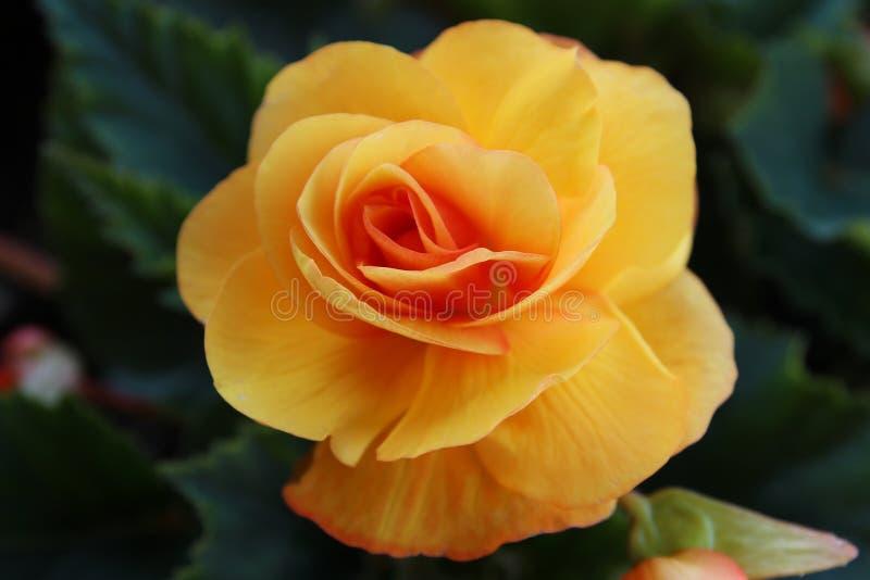 Begonia amarilla imagen de archivo