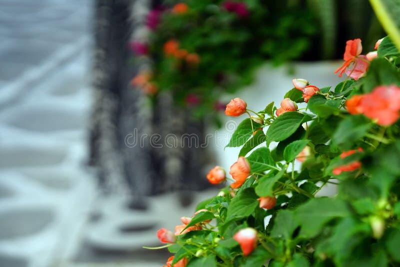 Begonia arancio su un fondo vago in una via di Parikia fotografia stock