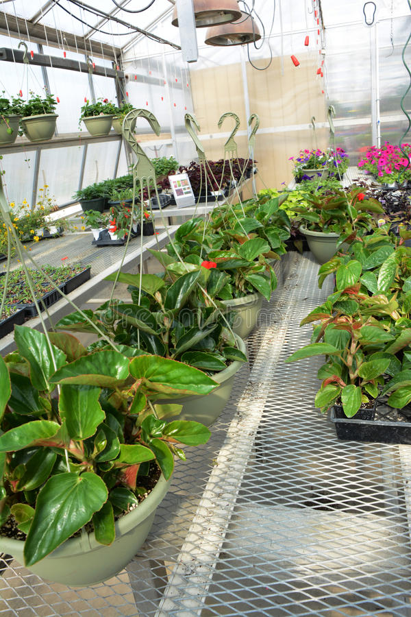 Begonia Baskets foto de stock royalty free