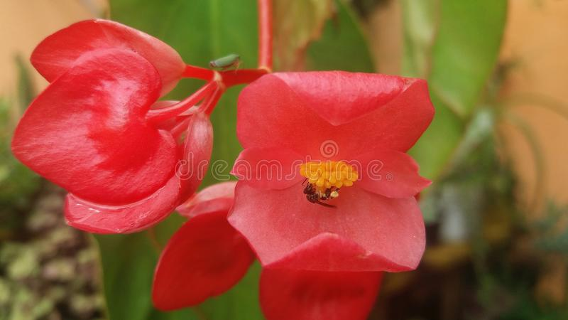 Begonia being pollinated stock photography