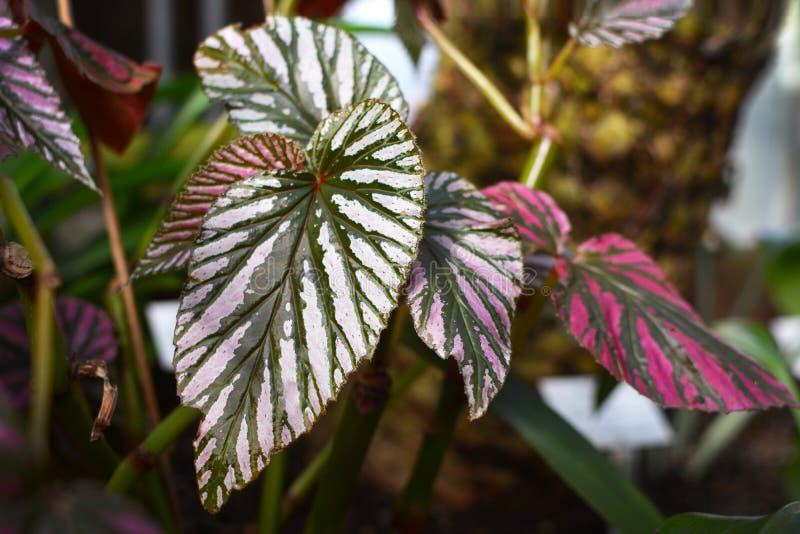 Begonia Brevirimosa växtblad arkivfoton