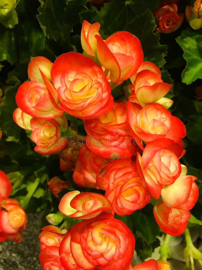 Begonia Camellia Fully-grown. Its succulent heart-shaped leaves remain green in color throughout the year.. stock photos