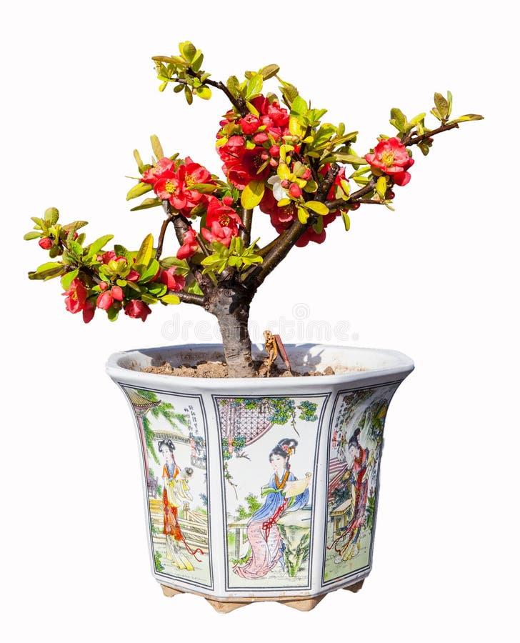 Begonia (Chaenomeles of Chinese bloeiende krabappel) bonsai stock foto's