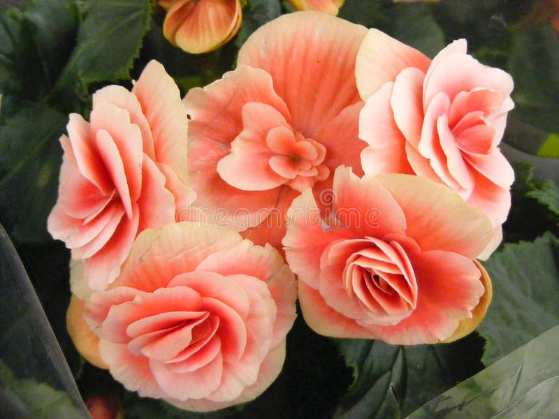 Begonia of coral color stock image