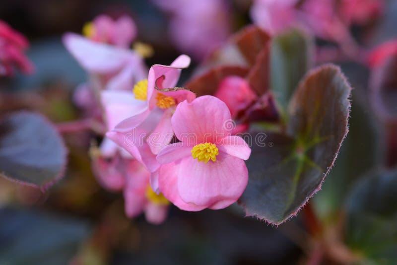 Begonia de cera Carmen fotografía de archivo libre de regalías