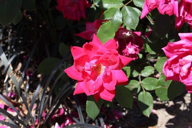 Begonia de cera imagen de archivo libre de regalías