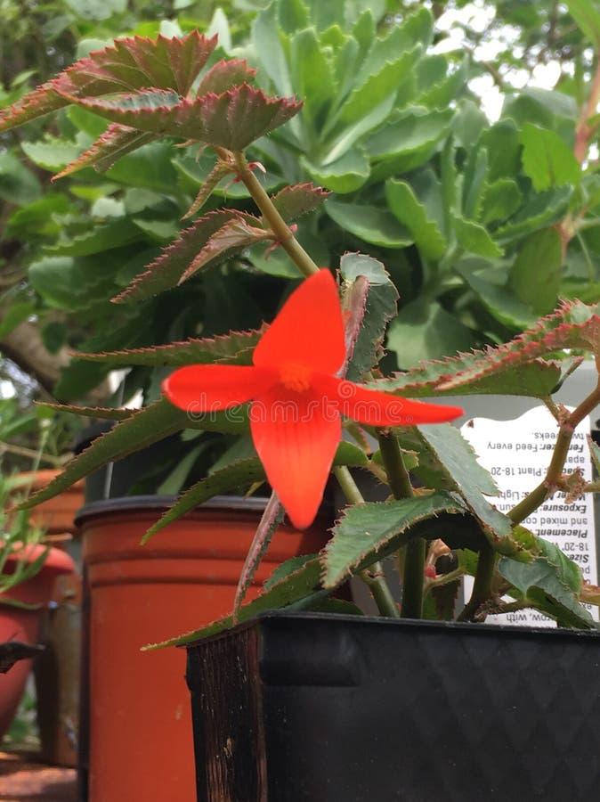 Begonia del fuego foto de archivo