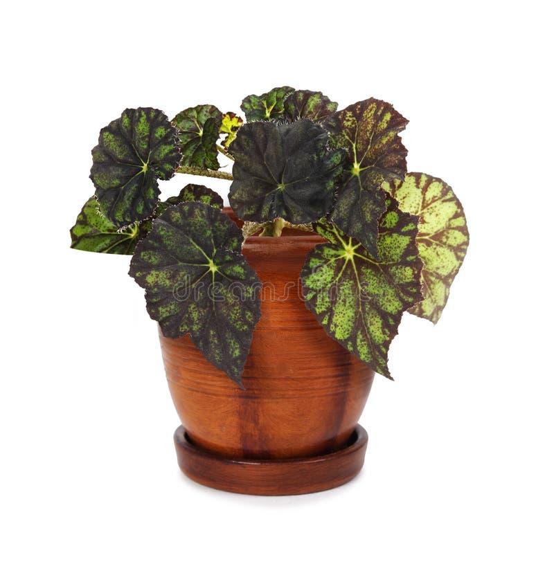 Begonia del Houseplant in flowerpot immagini stock libere da diritti