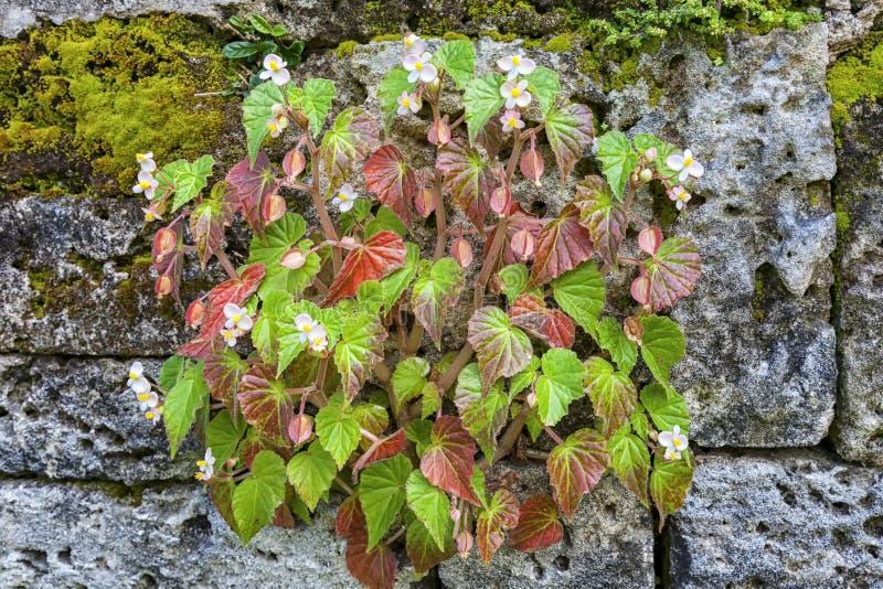 Begonia del jardín de piedras imagen de archivo