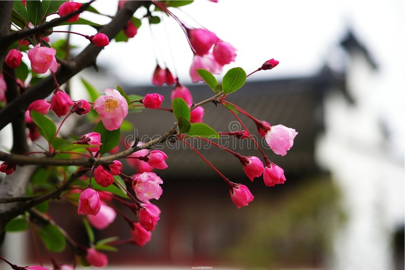 Begonia di Koehne fotografia stock libera da diritti