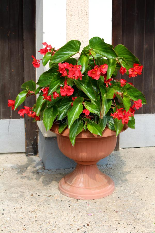 Begonia Dragon wing red plant with cascades of dangling clusters of scarlet red flowers surrounded with lush dark green leaves stock images