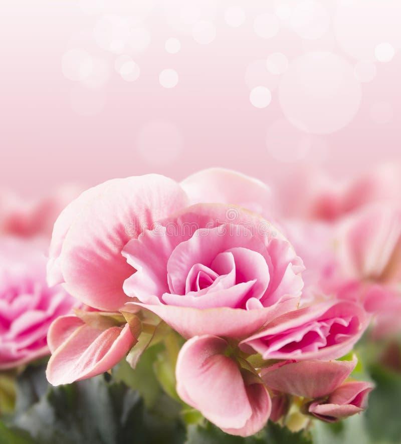 Begonia en fondo rosado con el bokeh foto de archivo