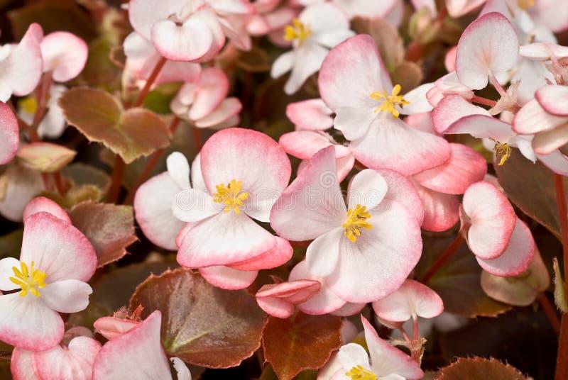 Begonia fibrosa imagen de archivo