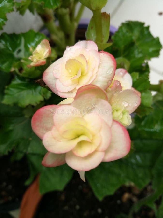 Begonia flower closeup stock photo