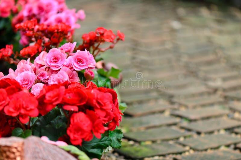 Begonia flower in garden royalty free stock photo