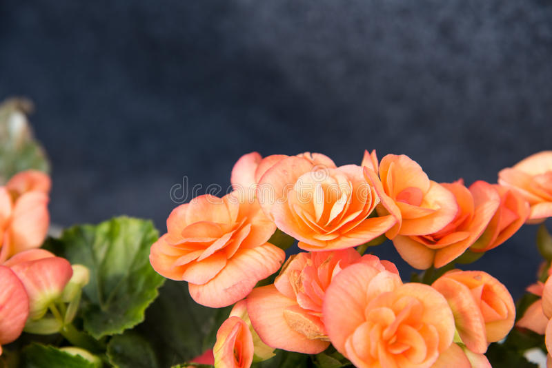 Begonia flowers royalty free stock photo
