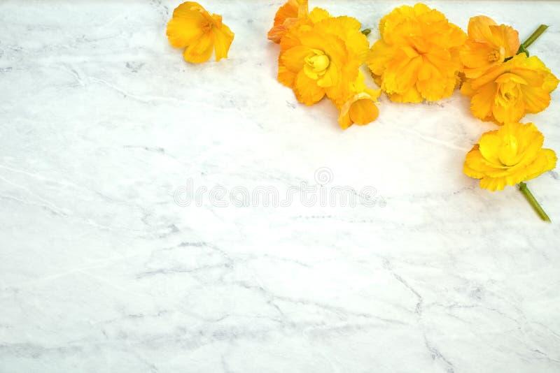 Begonia Flowers gialla graziosa in primavera di superficie di marmo grigia e bianca Una disposizione piana del modello orizzontal fotografia stock