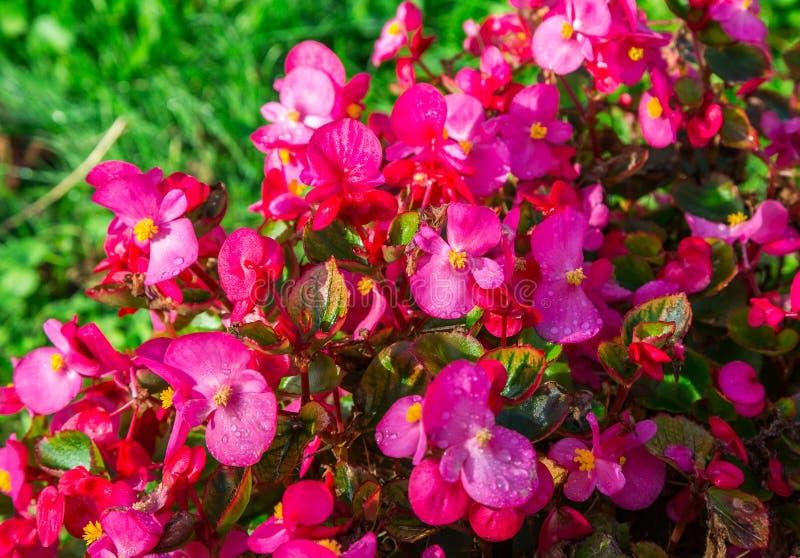 Begonia Flowers royaltyfri bild
