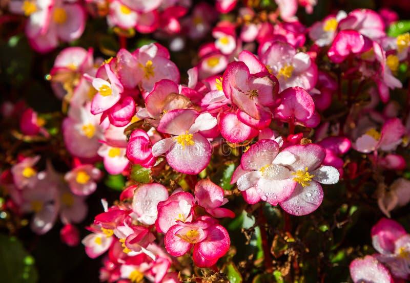 Begonia Flowers royaltyfri fotografi