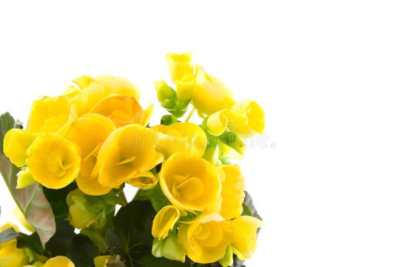 Begonia gialla fotografia stock libera da diritti