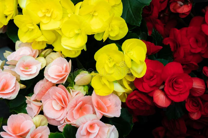 Begonia Grandis or hardy begonia, love longing, bitter love, close-up on wax flowers and leaves of begonia Begonia Semperflorens, royalty free stock photos