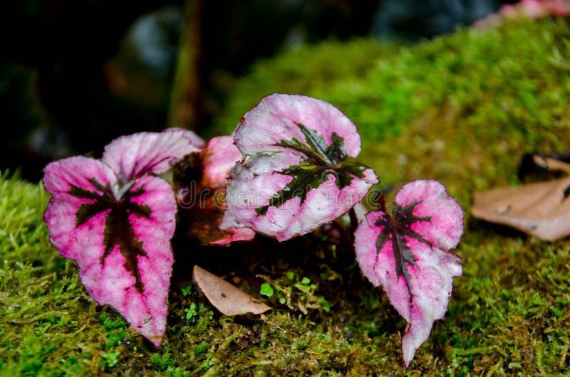Begonia, komen zij natuurlijk in vochtige klimaten in tropisch en subtropisch Azië voor, stock afbeelding