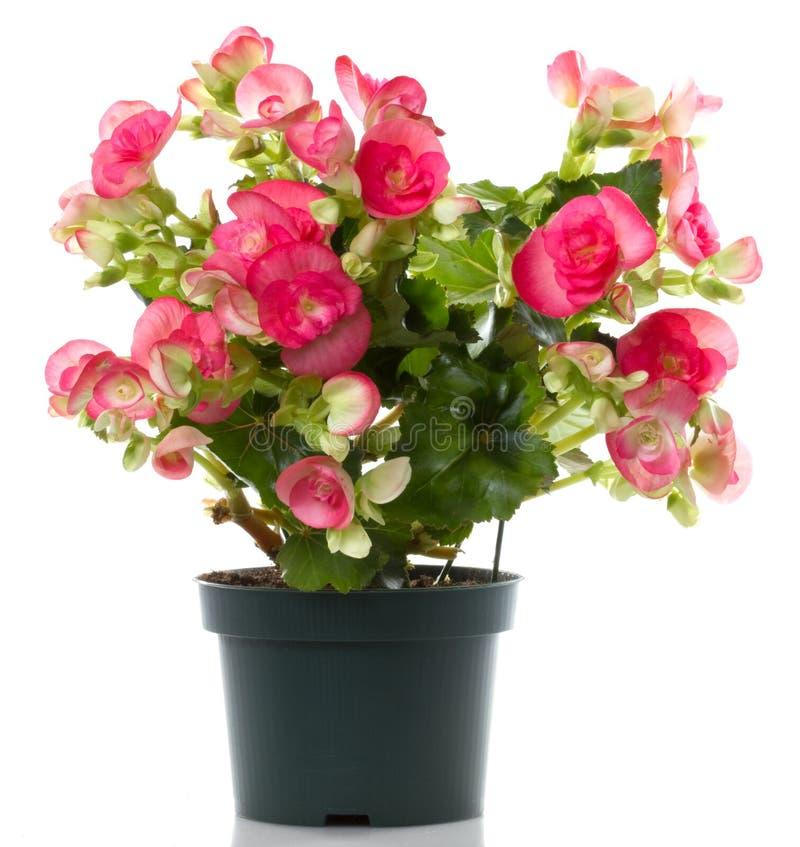 begonia kwiat zdjęcie stock