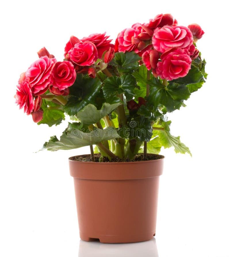 begonia kwiat zdjęcia royalty free