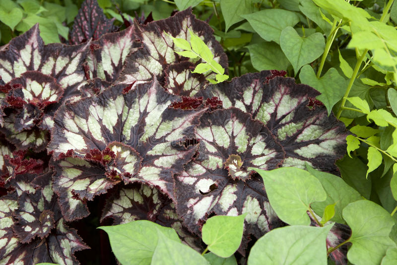 Begonia Leaf stockbilder