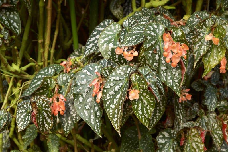 Begonia Leaf fotografía de archivo