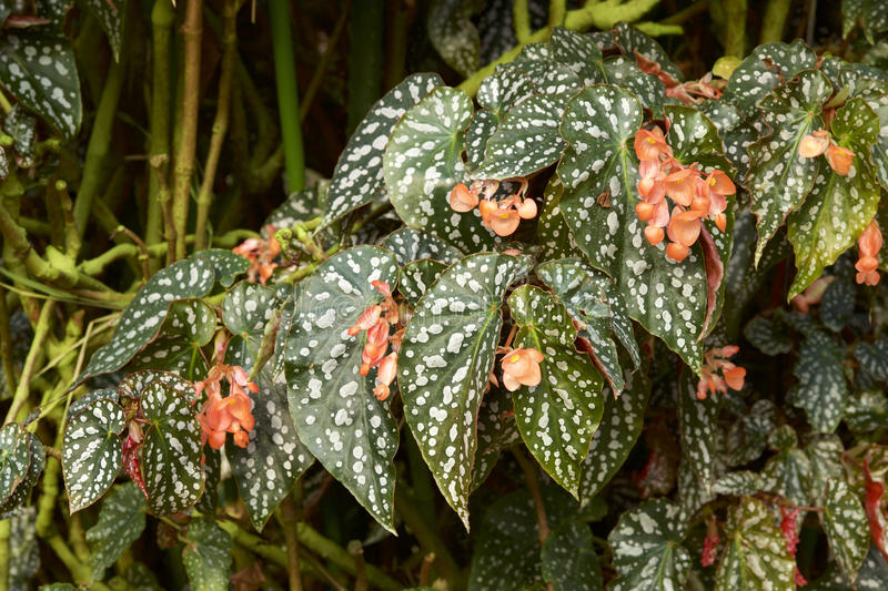 Begonia leaf. Picture of the beautiful begonia leaf stock photography