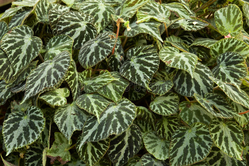 Begonia leaf. Picture of the beautiful begonia leaf stock photo