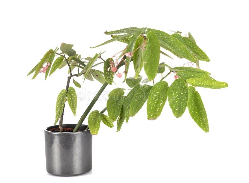 Begonia maculata in studio stock photo