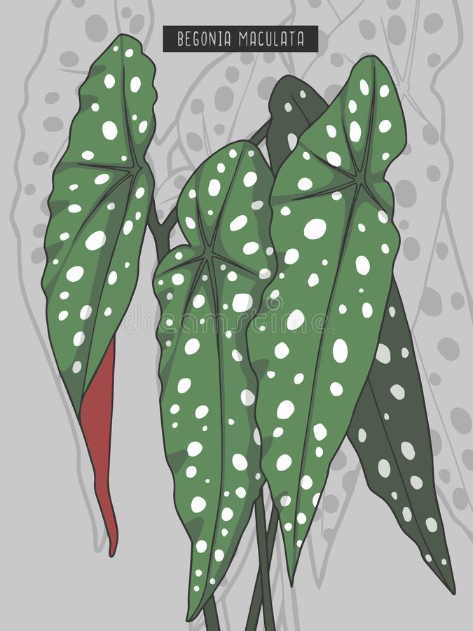 Begonia Maculata Wightii, Pstrągowa begonia lub Łaciasta polki kropki begoni tropikalnego lasu deszczowego tropikalnej rośliny we ilustracji
