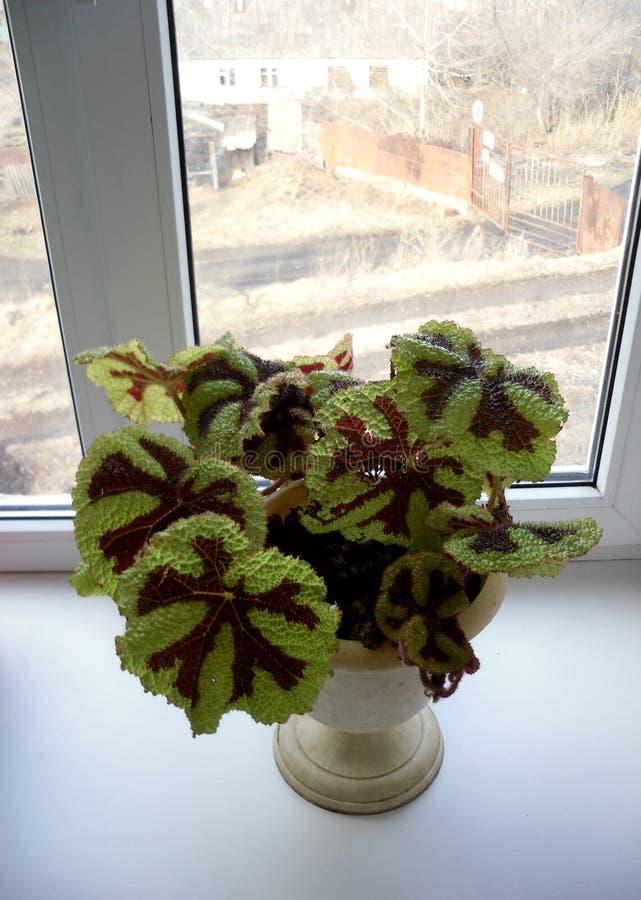 Begonia Masoniana royalty-vrije stock foto