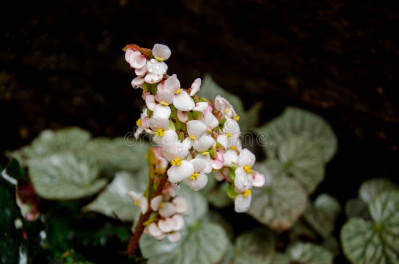 Begonia, ocurren naturalmente en climas húmedos en Asia tropical y subtropical, imagen de archivo